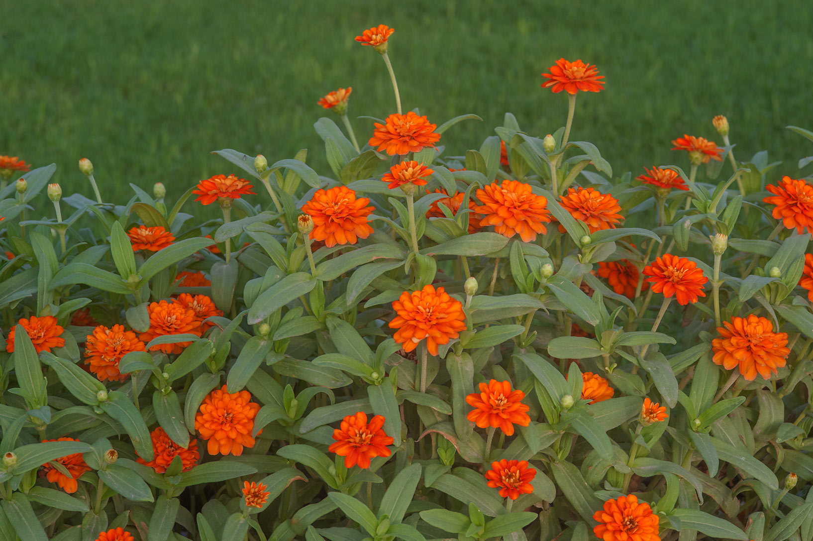 Orange flowers of narrowleaf zinnia (Zinnia...on Corniche promenade. Doha, Qatar