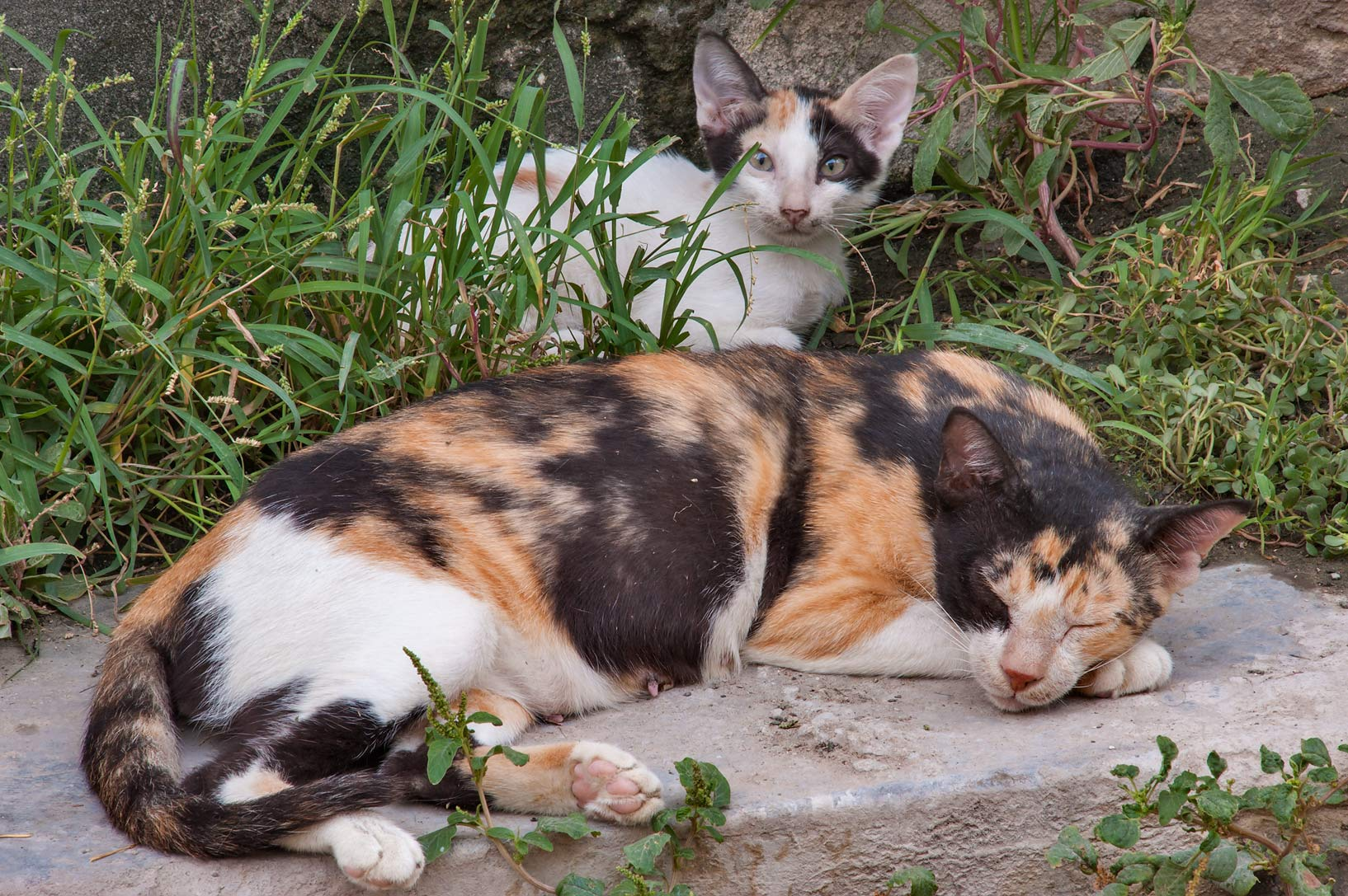 Calico cat with a kitten sleeping on Abdullah Bin Thani St., Musheirib area. Doha, Qatar