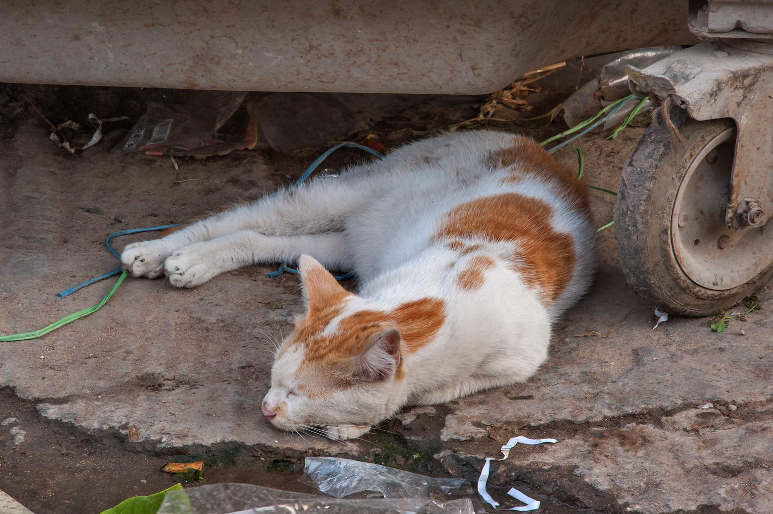 Brown and white feral cat sleeping under a...St., Musheirib area. Doha, Qatar