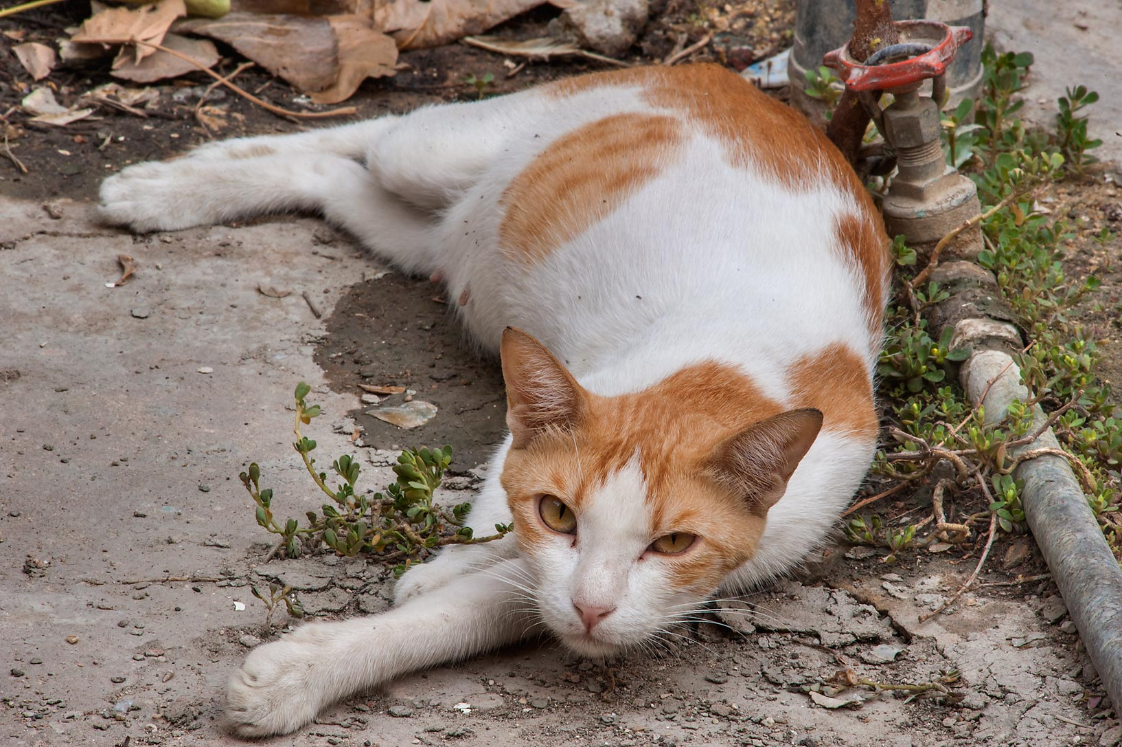 Brown and white cat resting on water leakage on...St., Musheirib area. Doha, Qatar