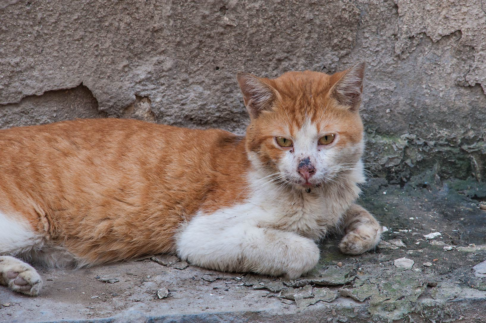 Brown and white feral cat on Abdullah Bin Thani St., Musheirib area. Doha, Qatar