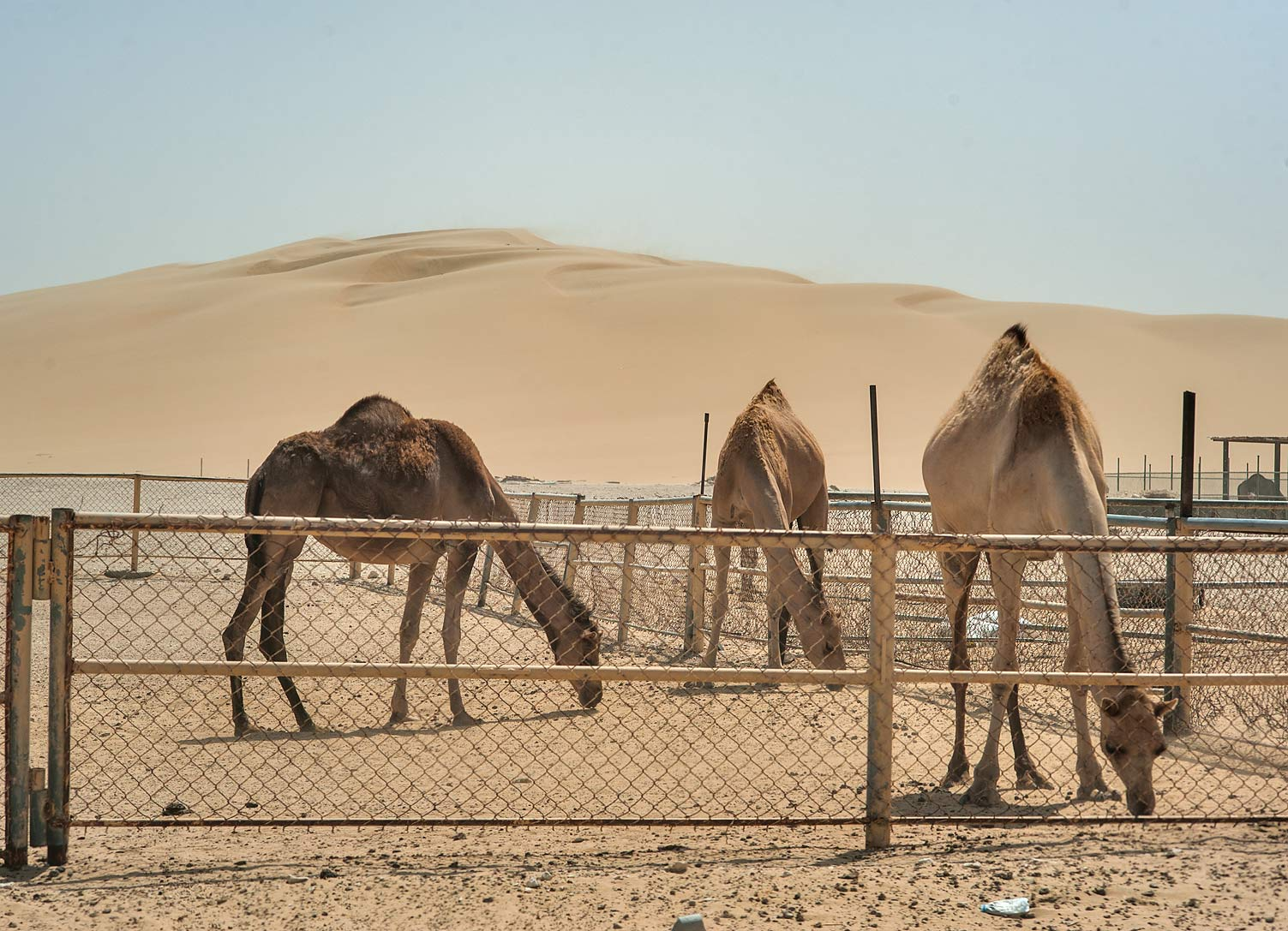 Camels in a farm in dunes area south from Abu Nahlah. Qatar