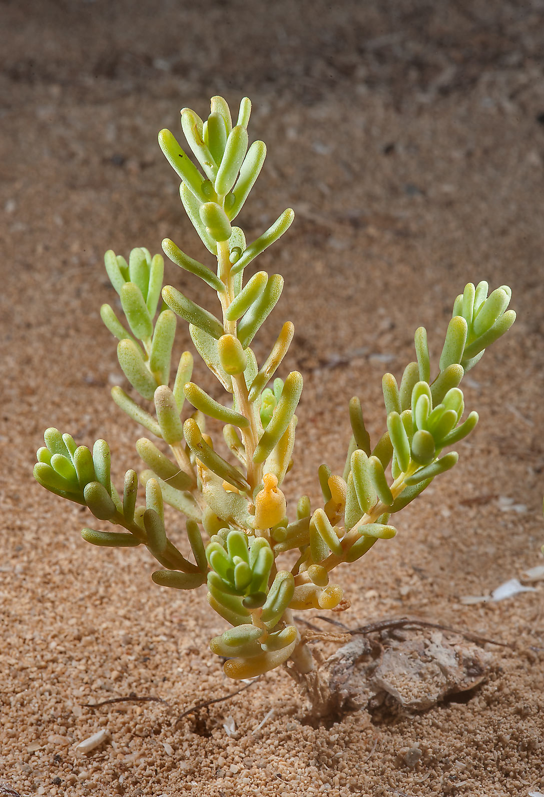 Plant of Bienertia sinuspersici in sand on a...Madinat Al Shamal area. Northern Qatar