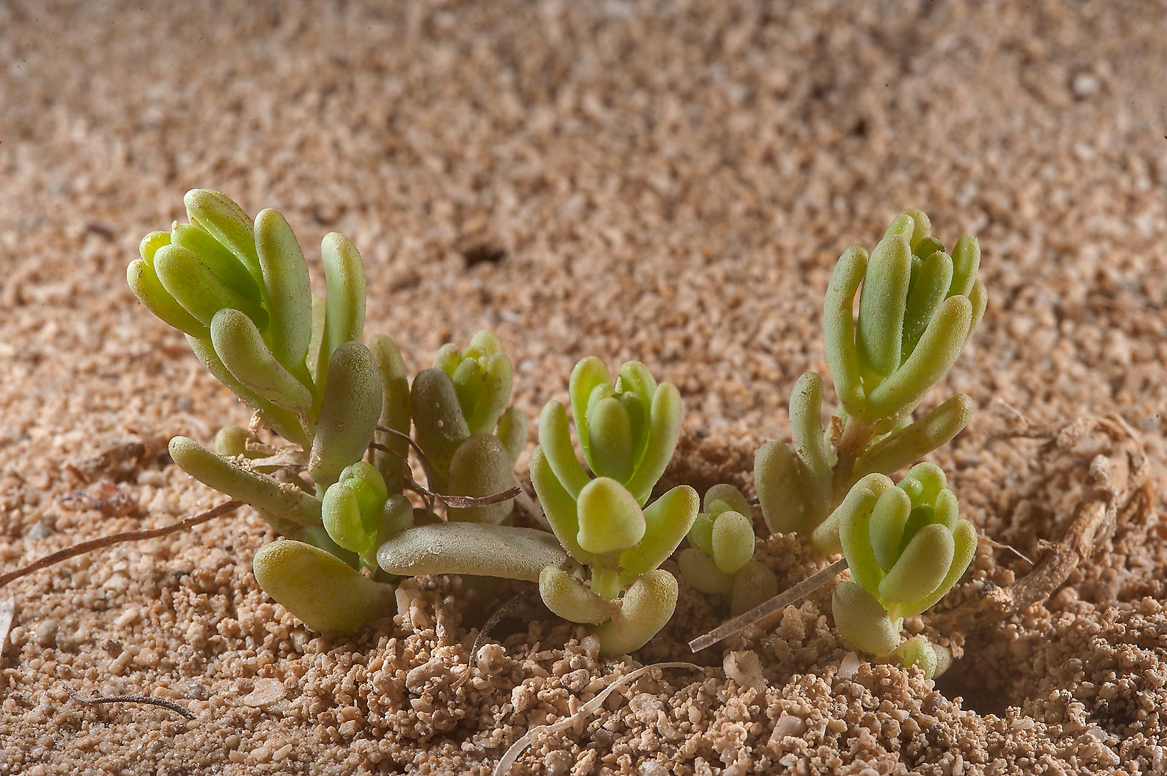 Bienertia sinuspersici emerging from sand on a...Madinat Al Shamal area. Northern Qatar