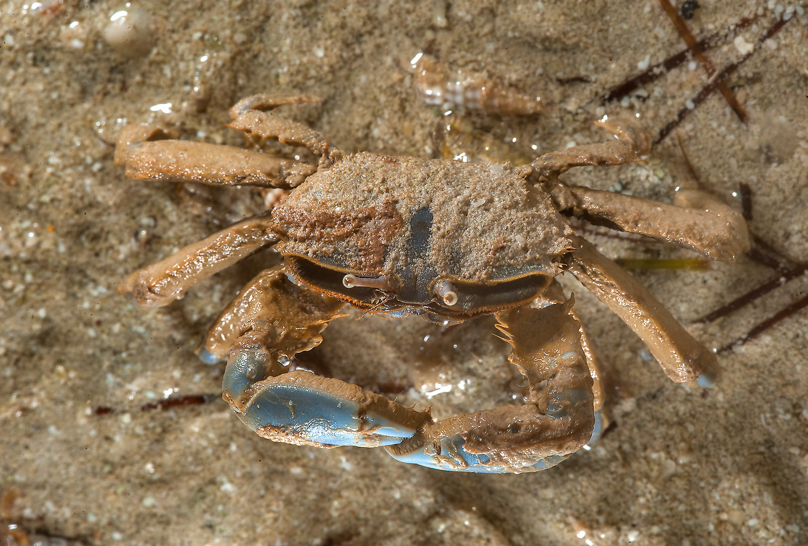 Small sand crab in Al Mafyar (Mafjar) area on northern coast (Al Shamal). Qatar