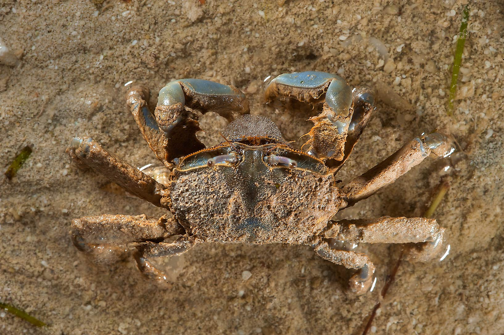 Small sand crab at low tide in Al Mafyar (Mafjar...on northern coast (Al Shamal). Qatar
