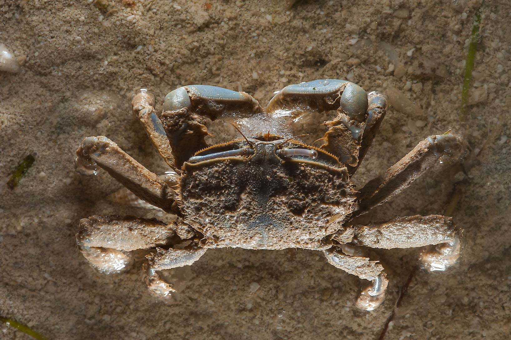Sand crab at low tide in Al Mafyar (Mafjar) area on northern coast (Al Shamal). Qatar