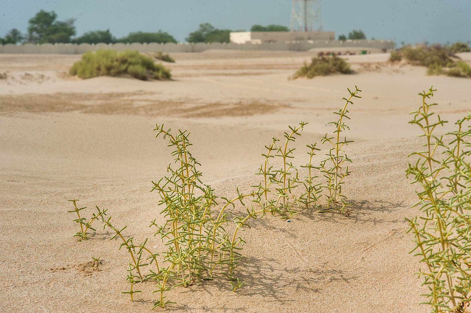 Seidlitzia rosmarinus in sand near Mesaieed, with...Resort in background. Southern Qatar