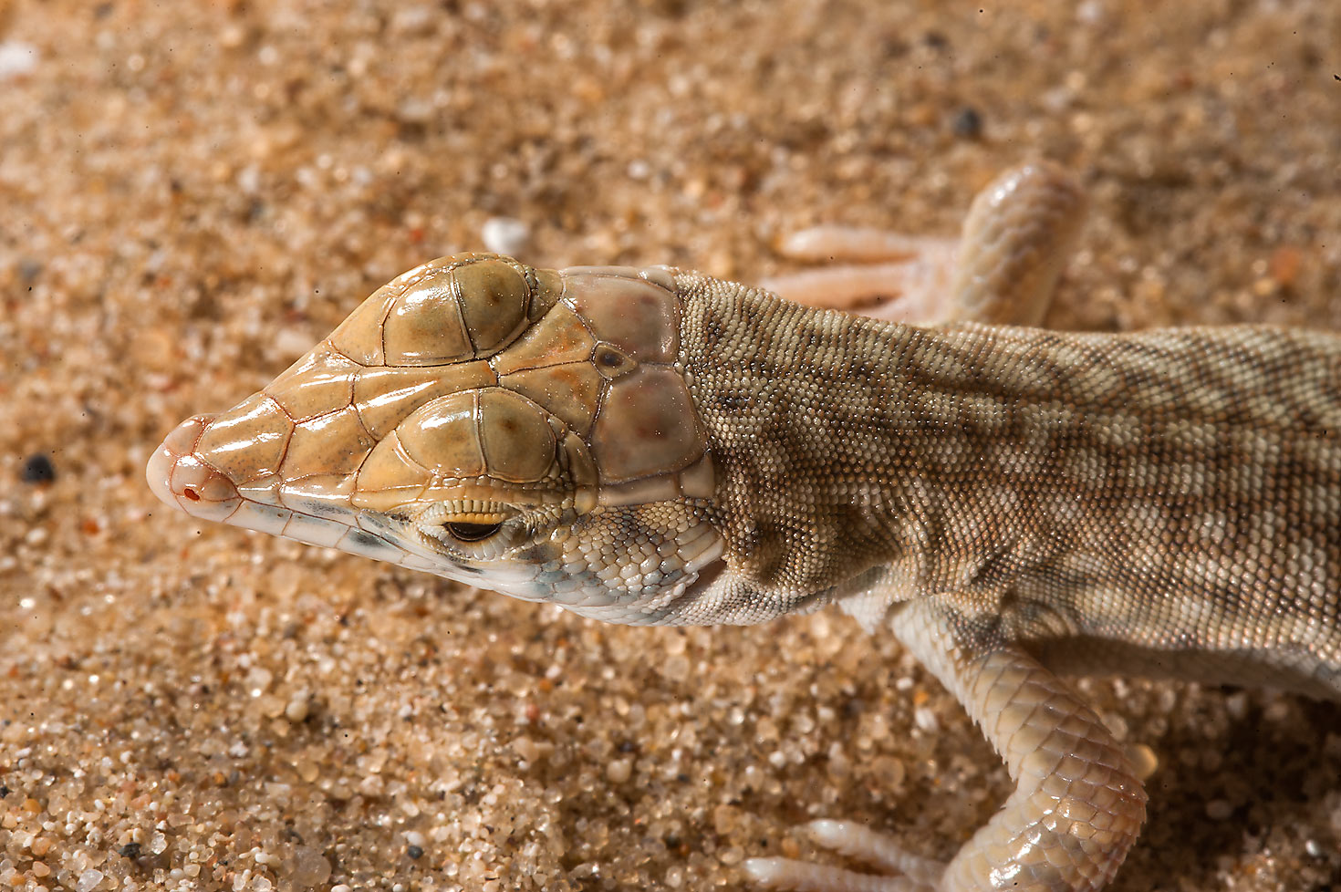 Close up of Schmidt's fringed-toed lizard...area of Rawdat Ekdaim. Southern Qatar