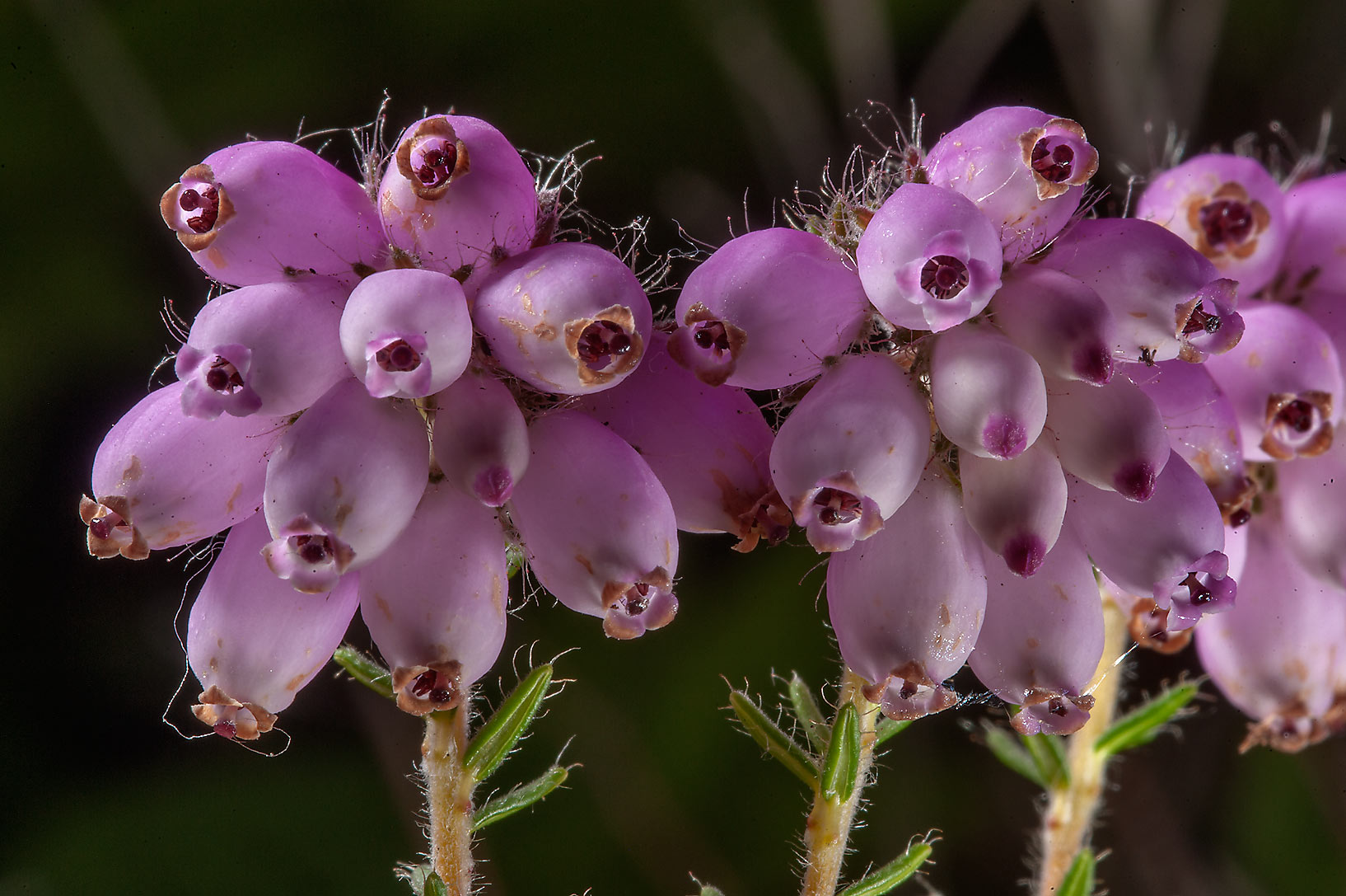 Cross-leaved heath (Erica tetralix) in Botanic...Institute. St.Petersburg, Russia