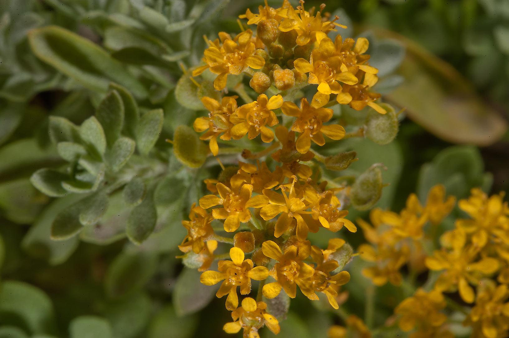 Photo 1622 18 yellow flowers of mustard family in botanic x large image mightylinksfo