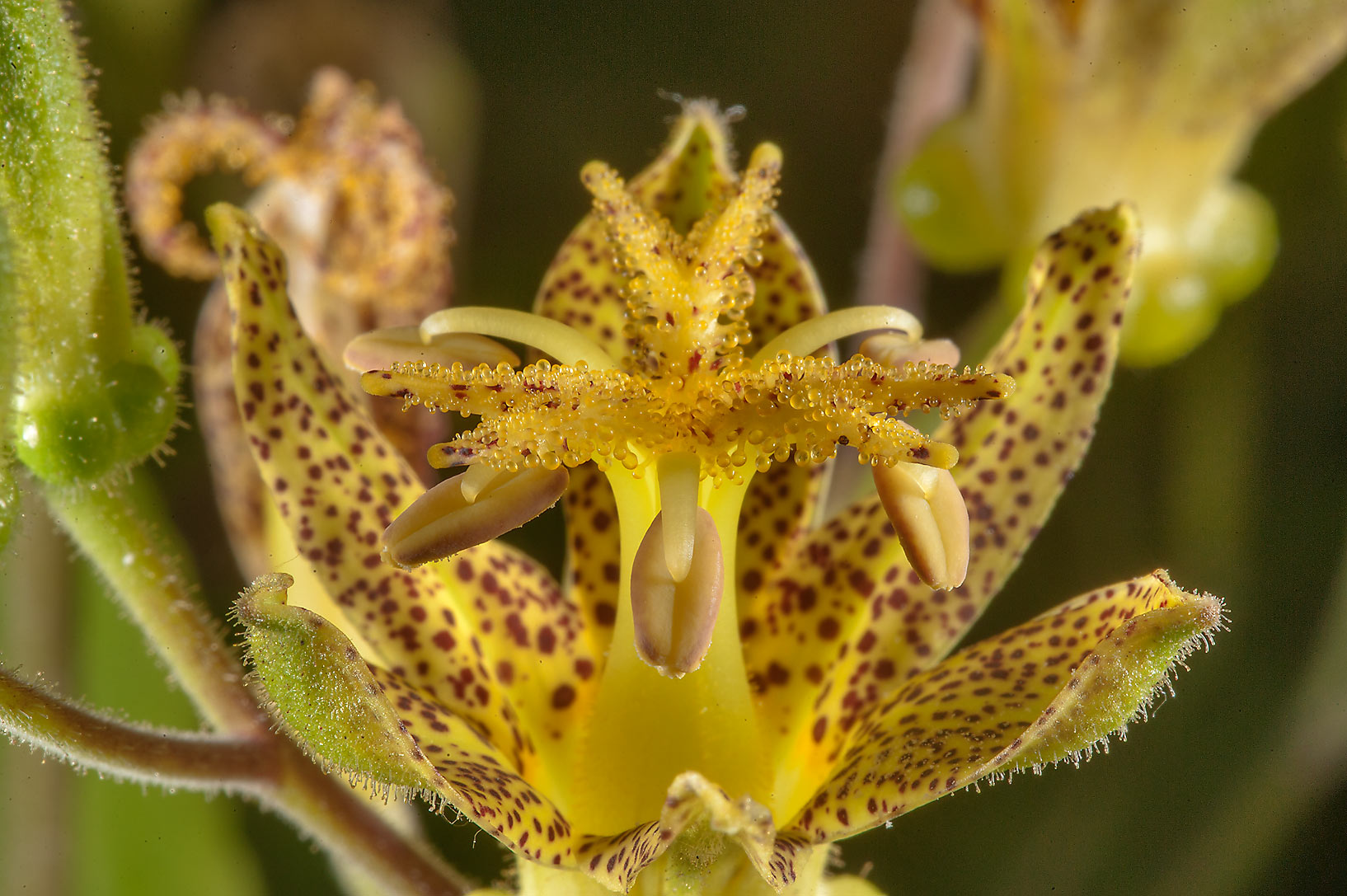 Toad lily Tricyrtis latifolia 'Golden Leopard' in...Institute. St.Petersburg, Russia