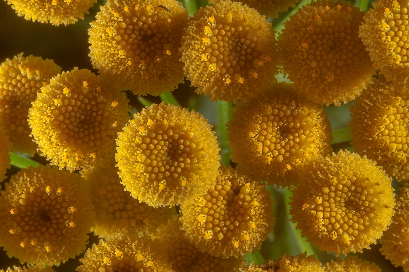 Photo 1623-15: Tansy flowers (Tanacetum vulgare, Russian name ...