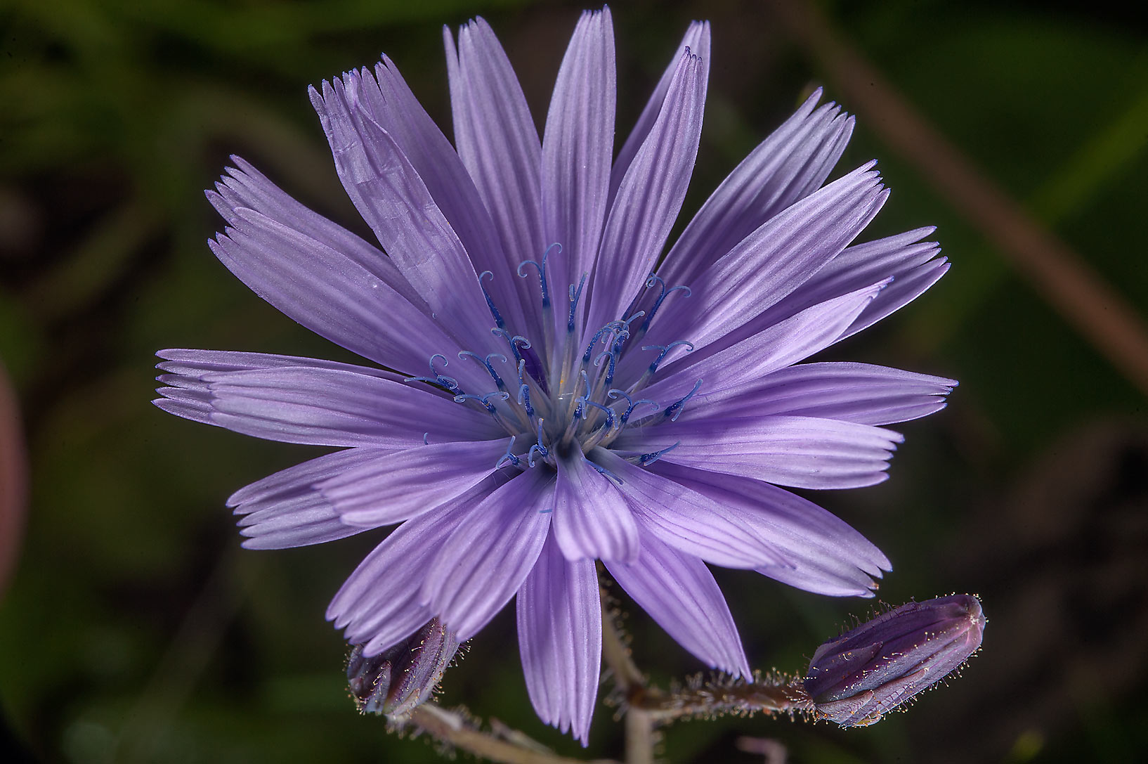Photo 1623 19 chicory like flower of siberian lettuce lactuca x large image izmirmasajfo Image collections