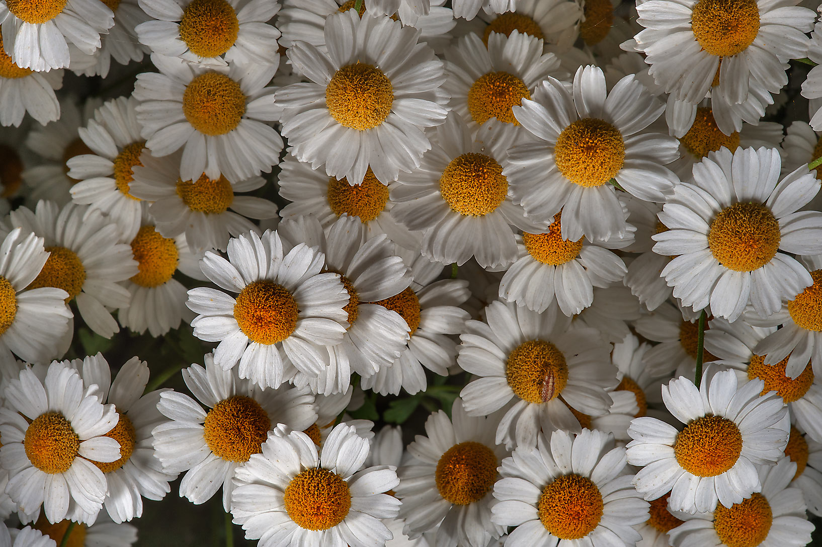 Some small white daisy flowers in Botanic Gardens...Institute. St.Petersburg, Russia