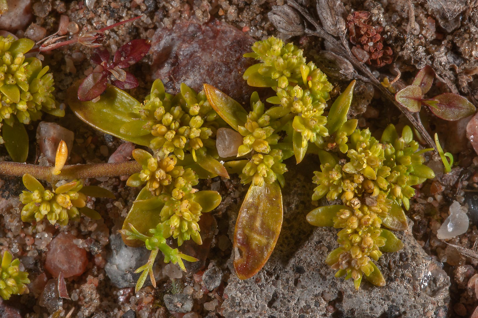 Close up of smooth rupturewort (Herniaria glabra...north from St.Petersburg. Russia