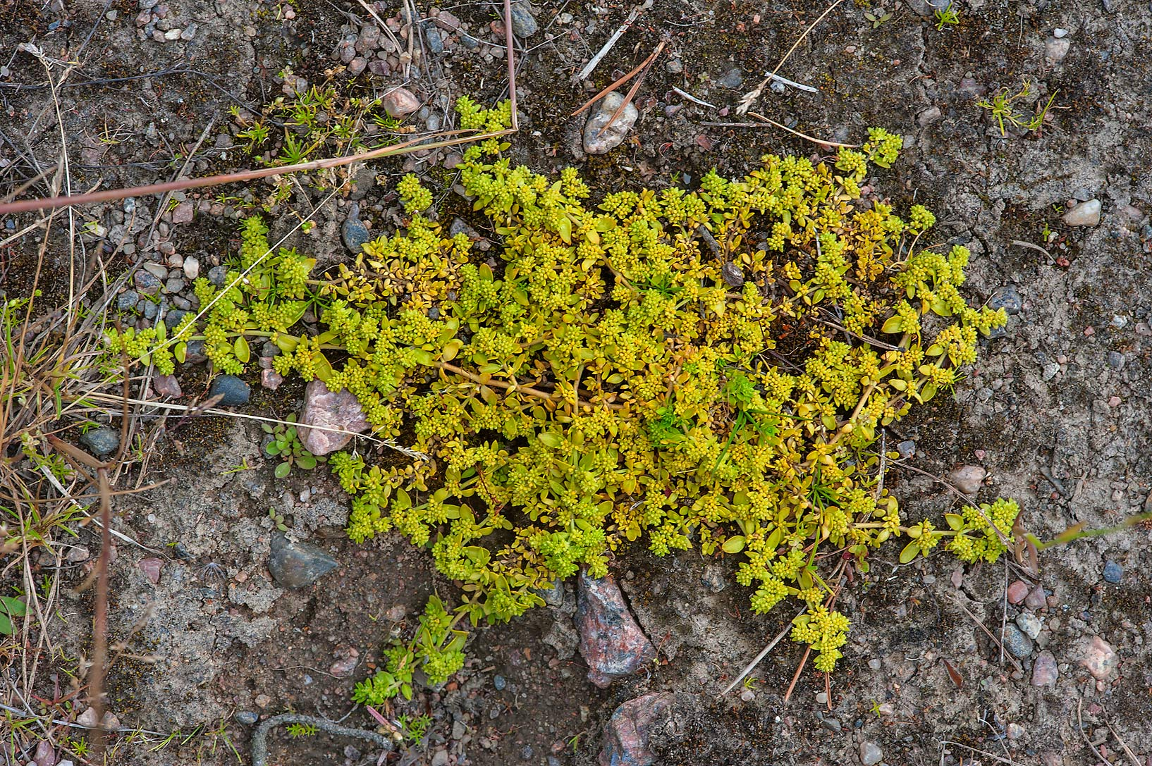Smooth rupturewort (Herniaria glabra, Russian...north from St.Petersburg. Russia