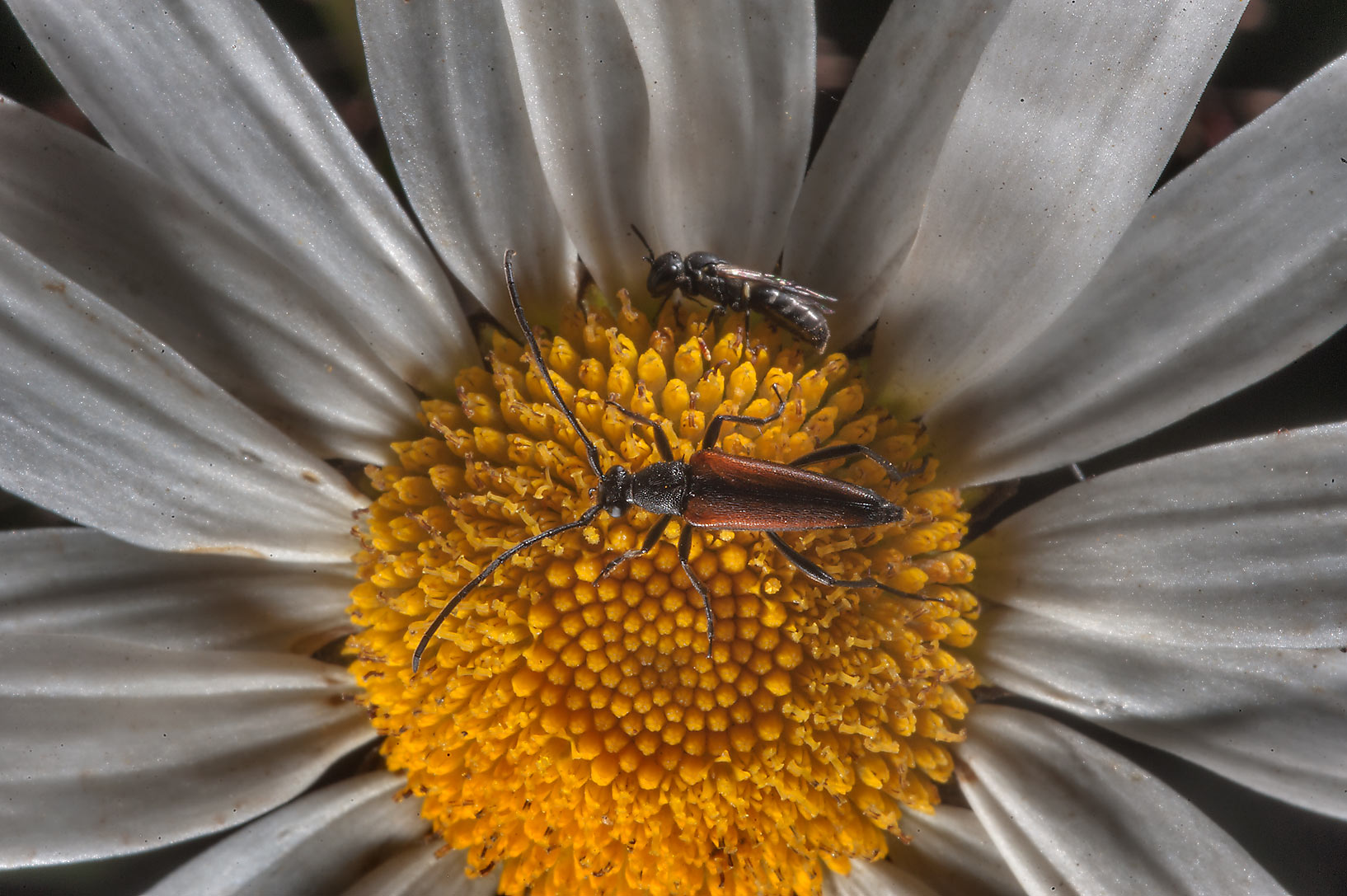 Daisy with a horn beetle in Petiayarvi, north from St.Petersburg. Russia