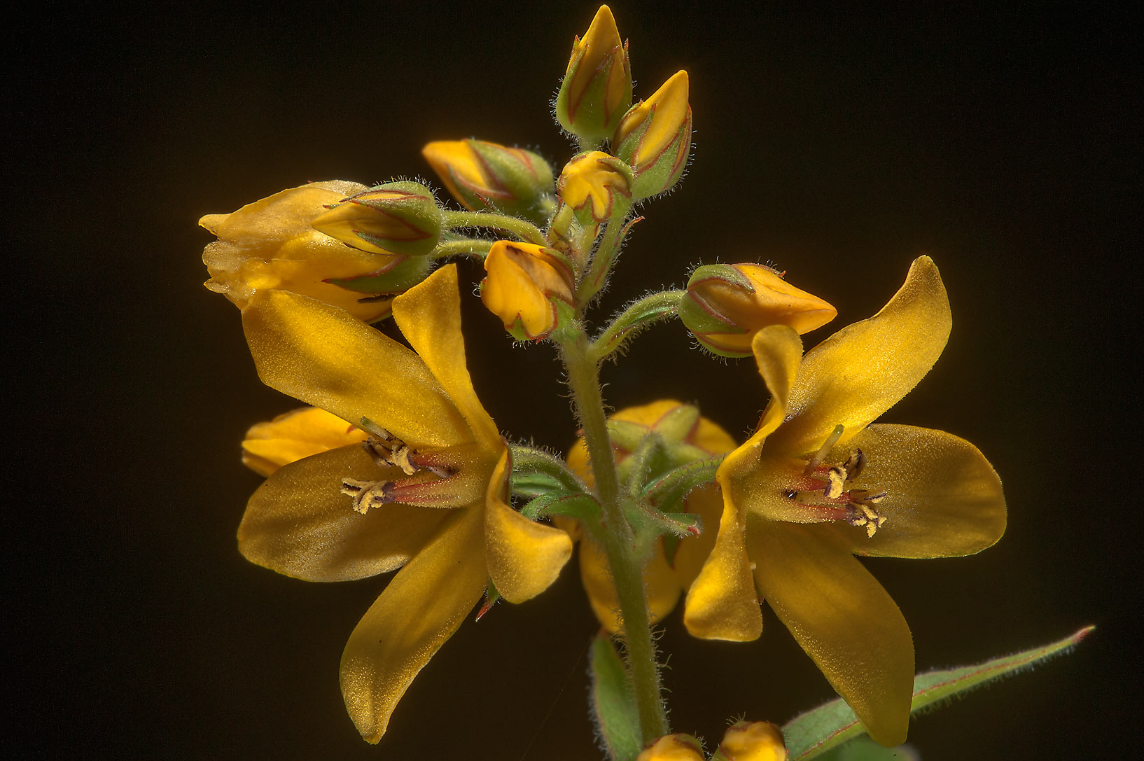 Flowers of Yellow Loosestrife (Lysimachia...a suburb of St.Petersburg, Russia