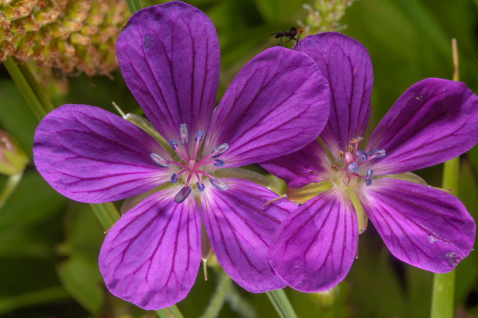 Wood cranesbill (Geranium sylvaticum) in Pavlovsk...a suburb of St.Petersburg, Russia