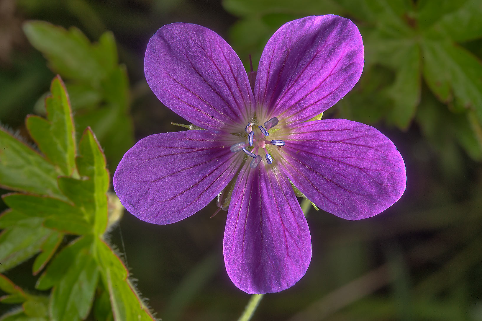 Wood cranesbill (Geranium sylvaticum) on a field...south from St.Petersburg, Russia