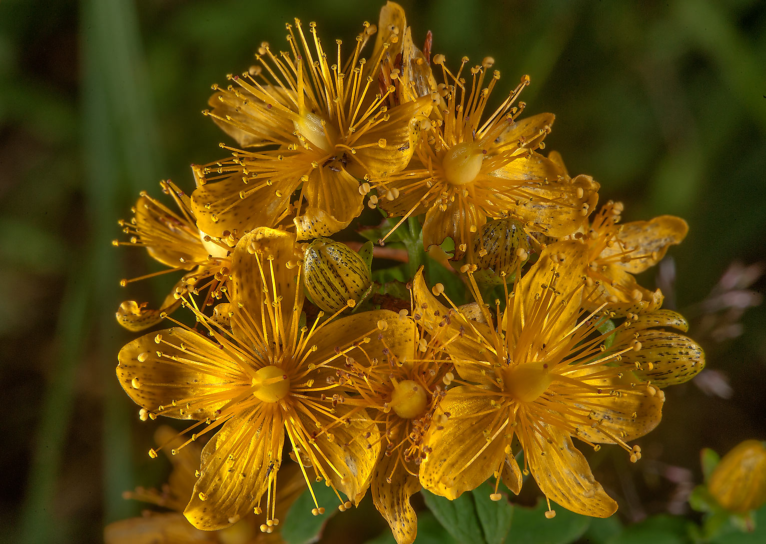 St. John's Wort (Hypericum perforatum, Russian...south from St.Petersburg, Russia