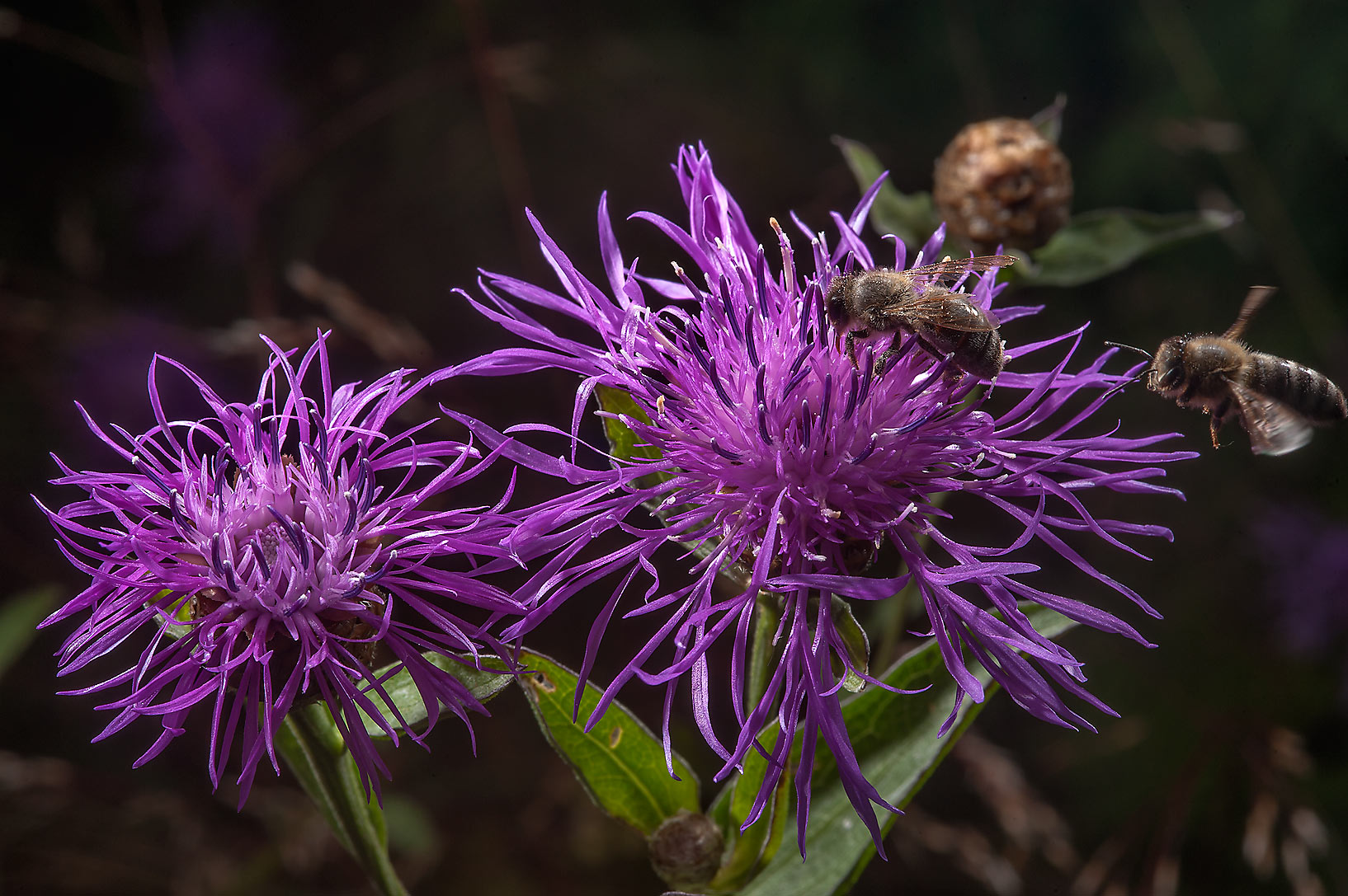 Brown Knapweed (Centaurea jacea, Russian name...south from St.Petersburg, Russia