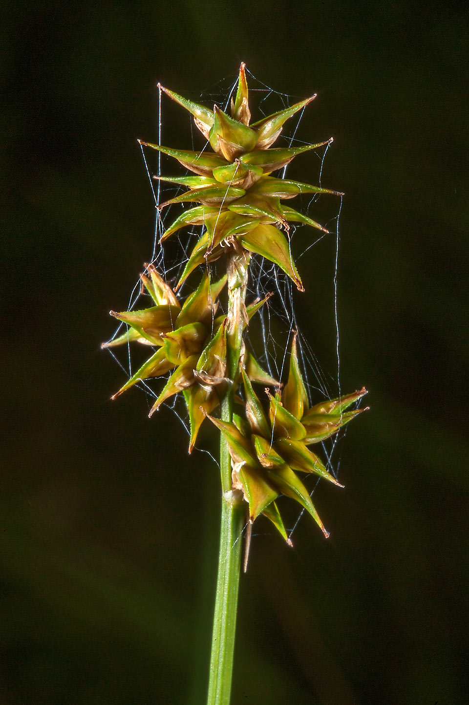 Star sedge (Carex echinata) in Posiolok near Vyritsa, south from St.Petersburg, Russia