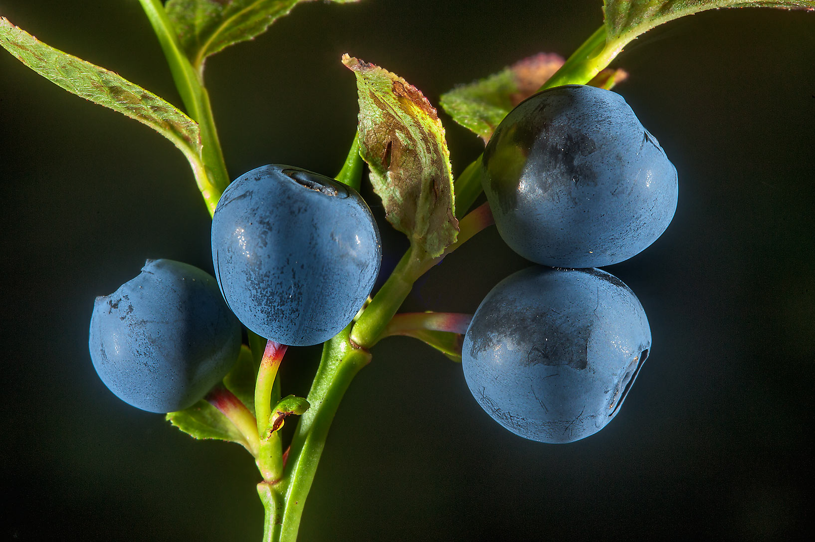 Fruits of blueberry (Chernika, Vaccinium...south from St.Petersburg, Russia