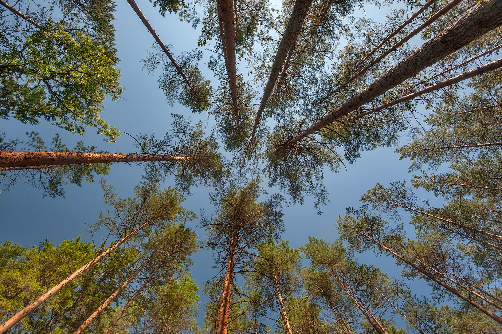 Pine trees in a forest in Posiolok near Vyritsa, south from St.Petersburg, Russia