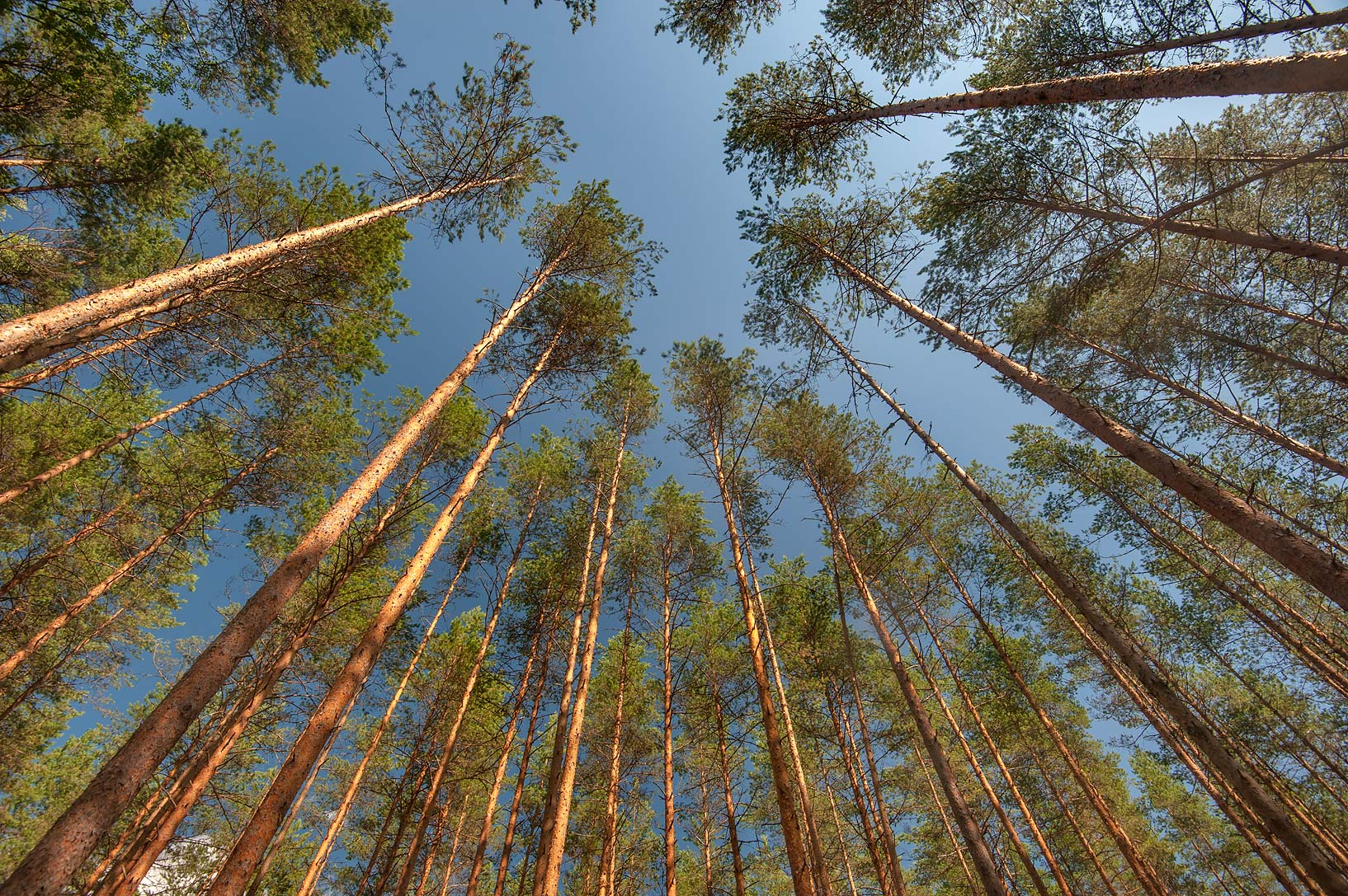 Tall pine trees in a forest in Posiolok near Vyritsa, south from St.Petersburg, Russia