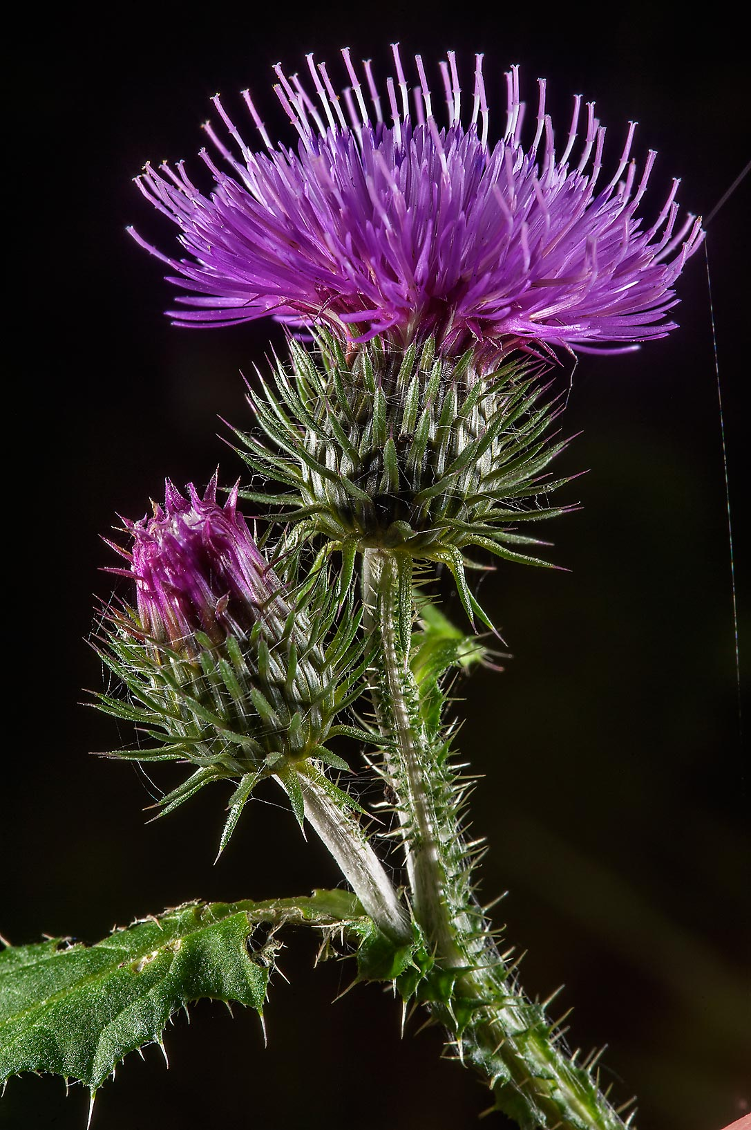 Blooming thistle (Cirsium heterophyllum , Russian...Institute. St.Petersburg, Russia
