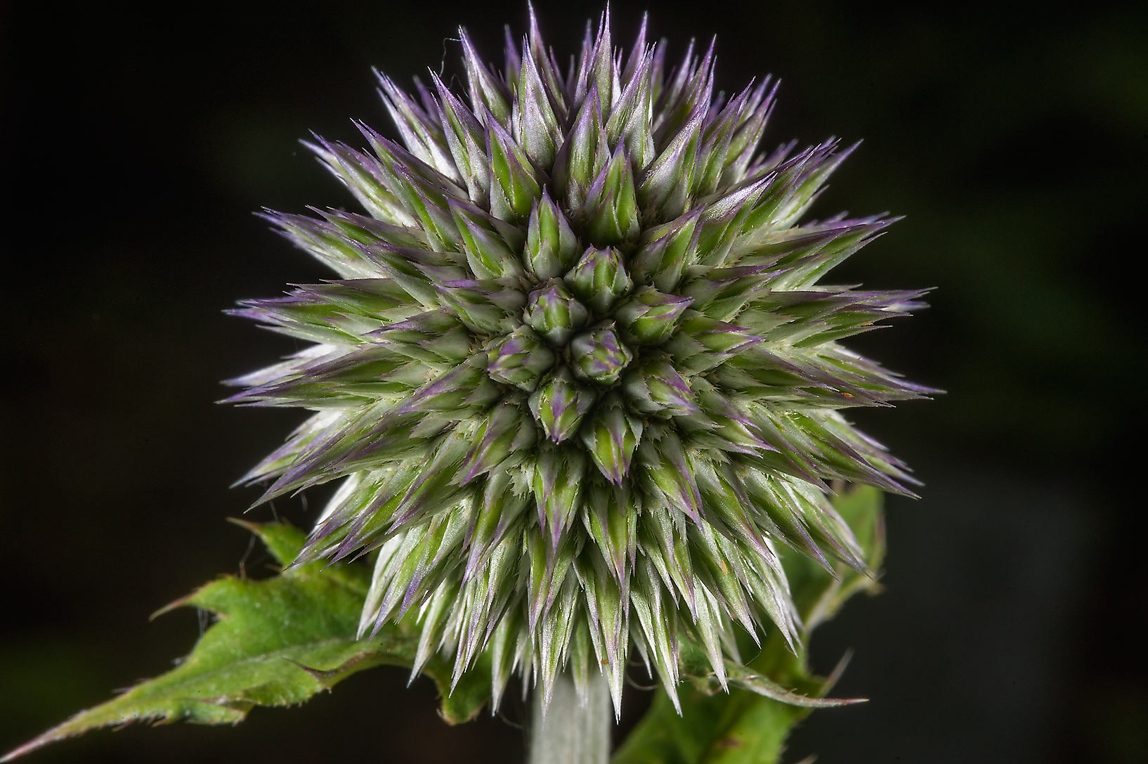 Globe thistle (Echinops, Russian name Mordovnik...Institute. St.Petersburg, Russia