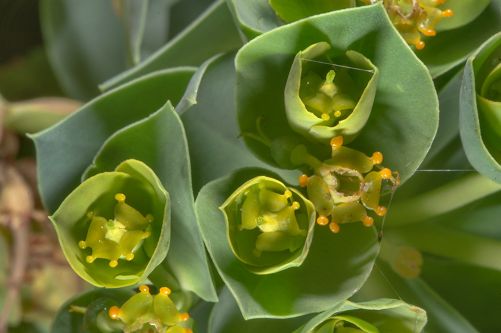 Flowers of myrtle spurge (Euphorbia myrsinites...Institute. St.Petersburg, Russia