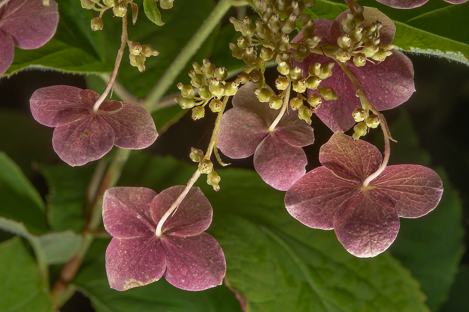 Sepals of Mountain hydrangea (Hydrangea serrata...Institute. St.Petersburg, Russia