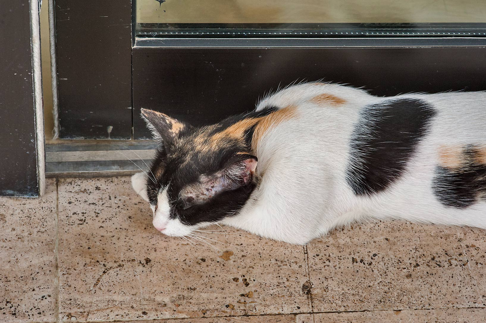 Calico cat cooling its body at the entrance of...campus of Education City. Doha, Qatar
