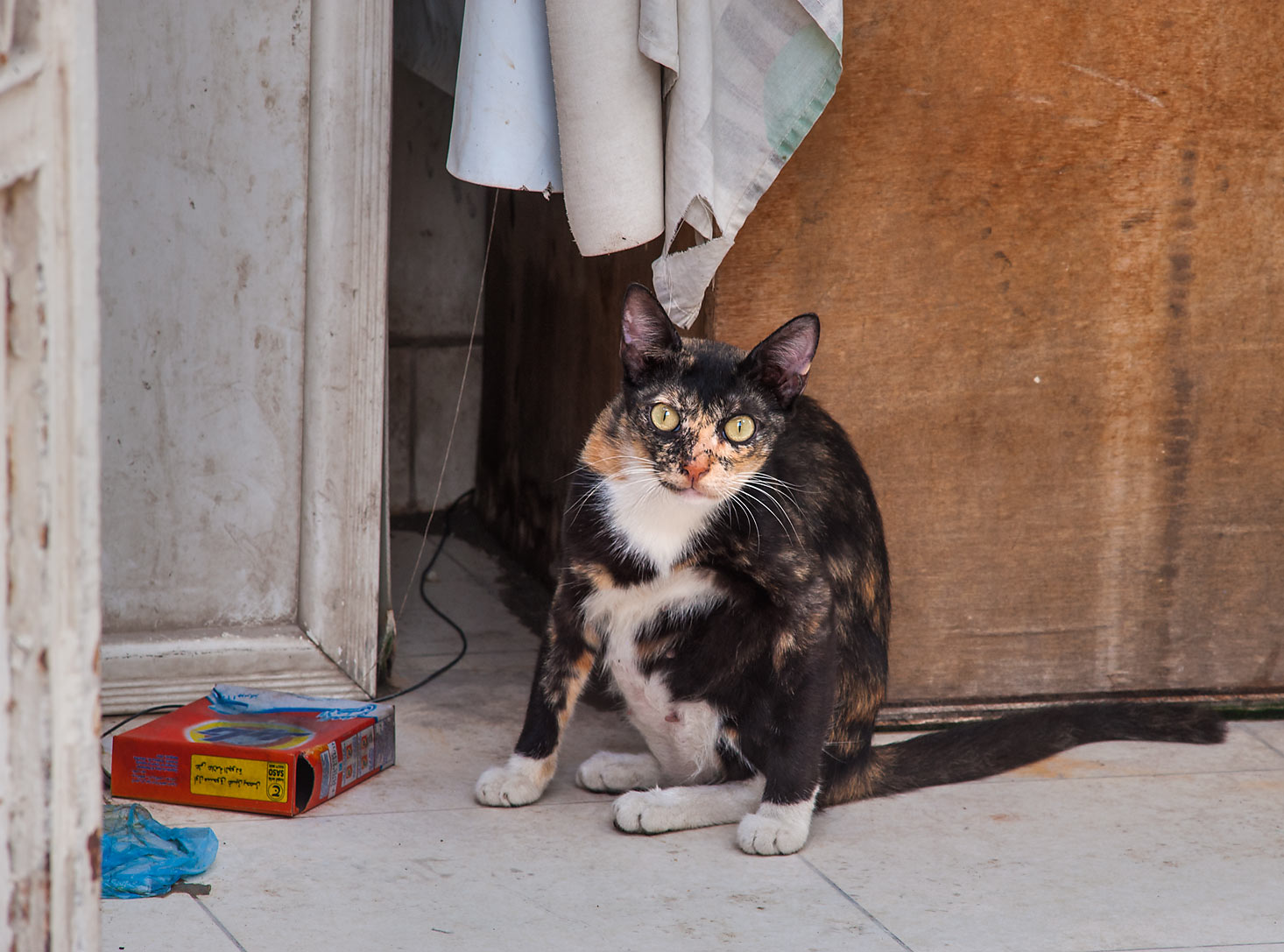 Peeking calico cat on Al Maymoun St. in Musheirib (Msheireb) area. Doha, Qatar