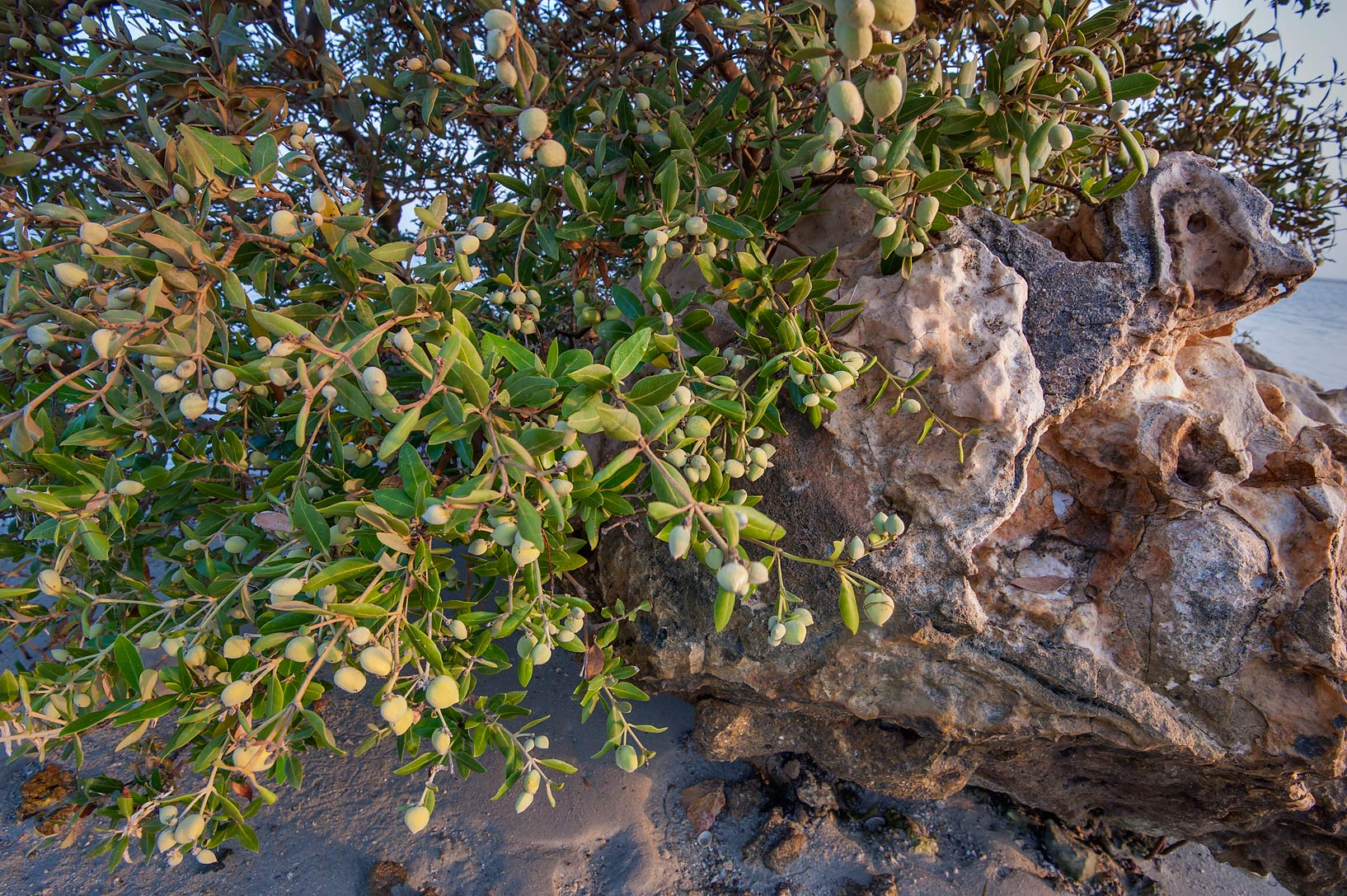 Mangrove tree (Avicennia marina) with fruits in...Jazirat Bin Ghanim). Al Khor, Qatar