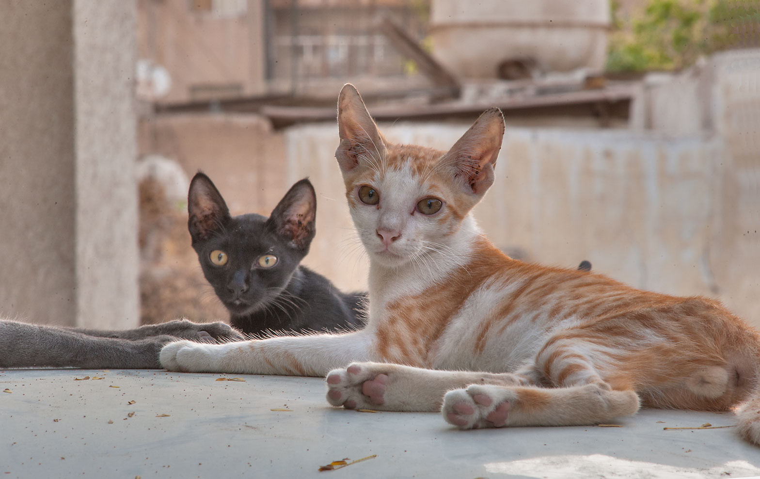 Pair of cats looking from a car on Al Diwan St. in Musheirib (Msheireb) area. Doha, Qatar