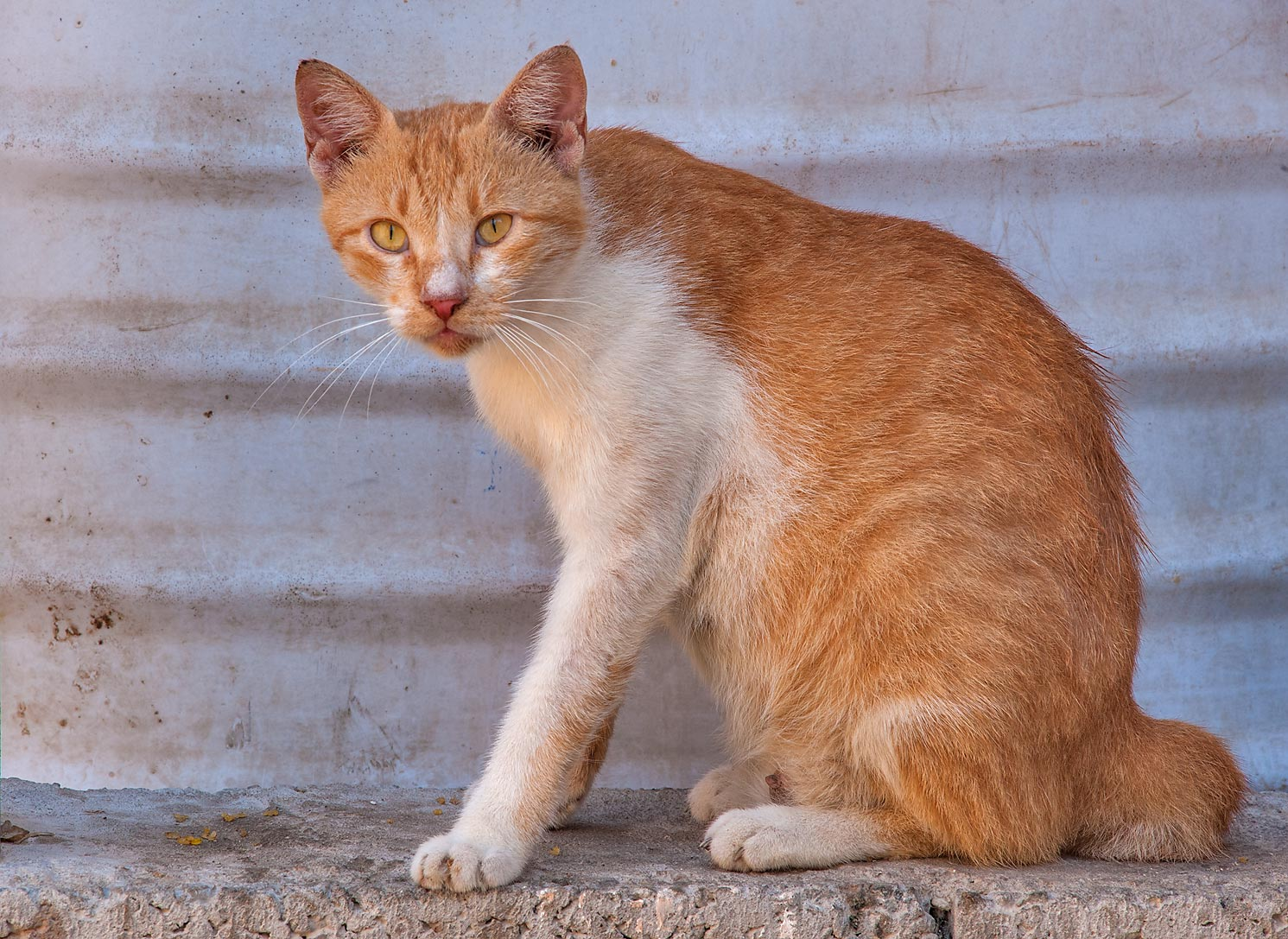 Groomed brown cat on Abdullah Bin Thani St. in Musheirib (Msheireb) area. Doha, Qatar