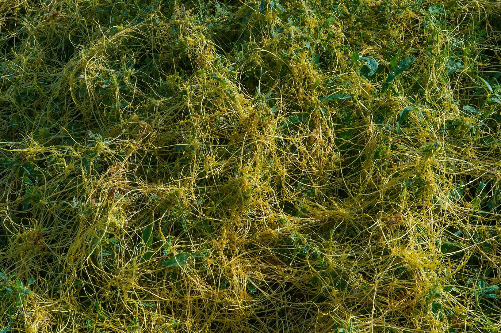 Dodder Cuscuta pedicellata on Green Circles...in Irkhaya (Irkaya) Farms. Qatar