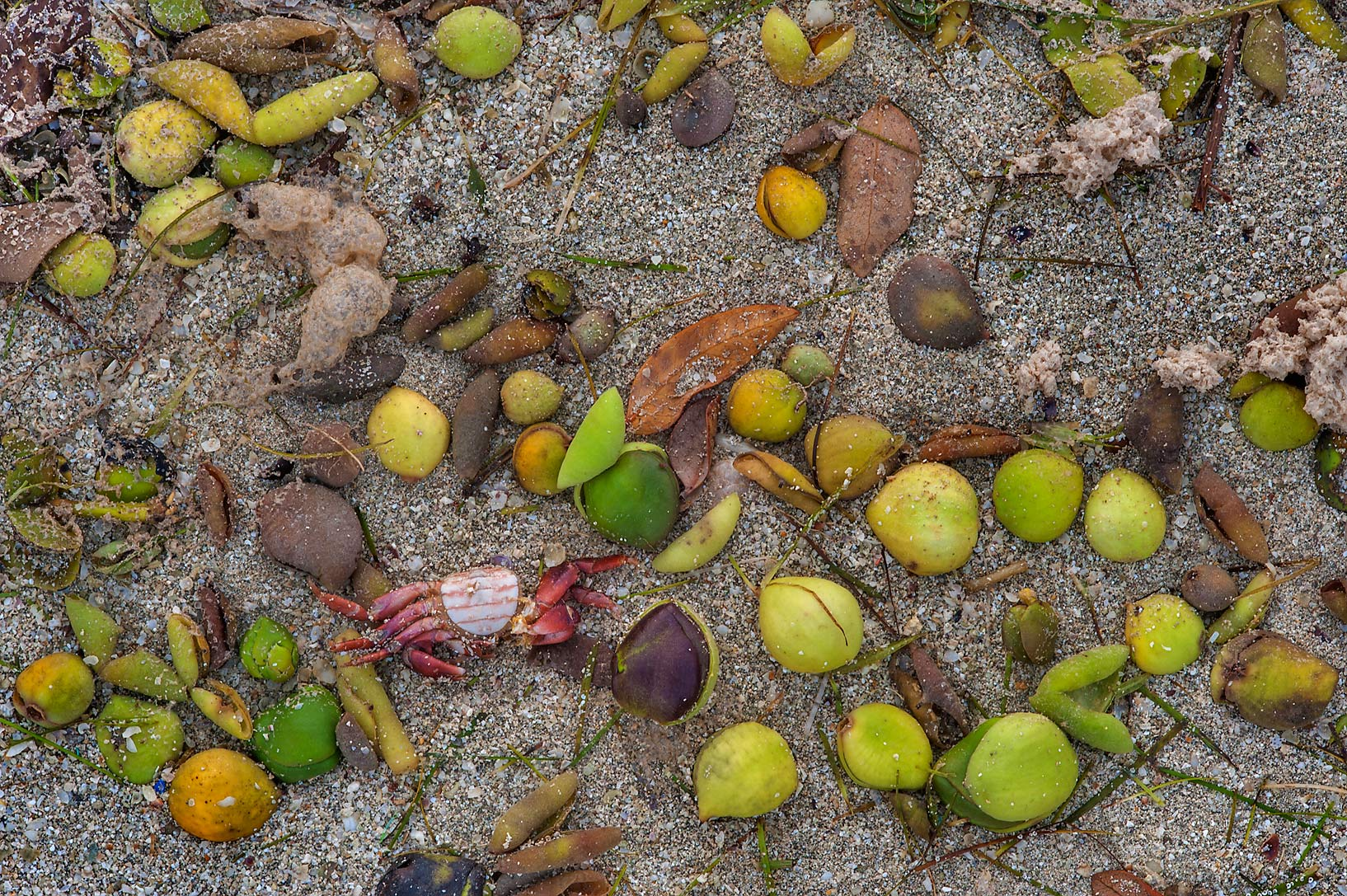 Masses of leathery fruits of mangrove washed out...Jazirat Bin Ghanim). Al Khor, Qatar