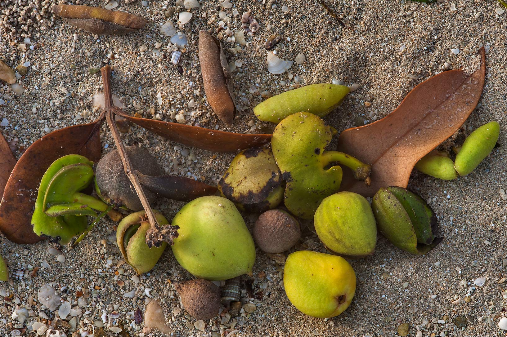 Fruits and dry twigs of mangrove (Avicennia...Jazirat Bin Ghanim). Al Khor, Qatar