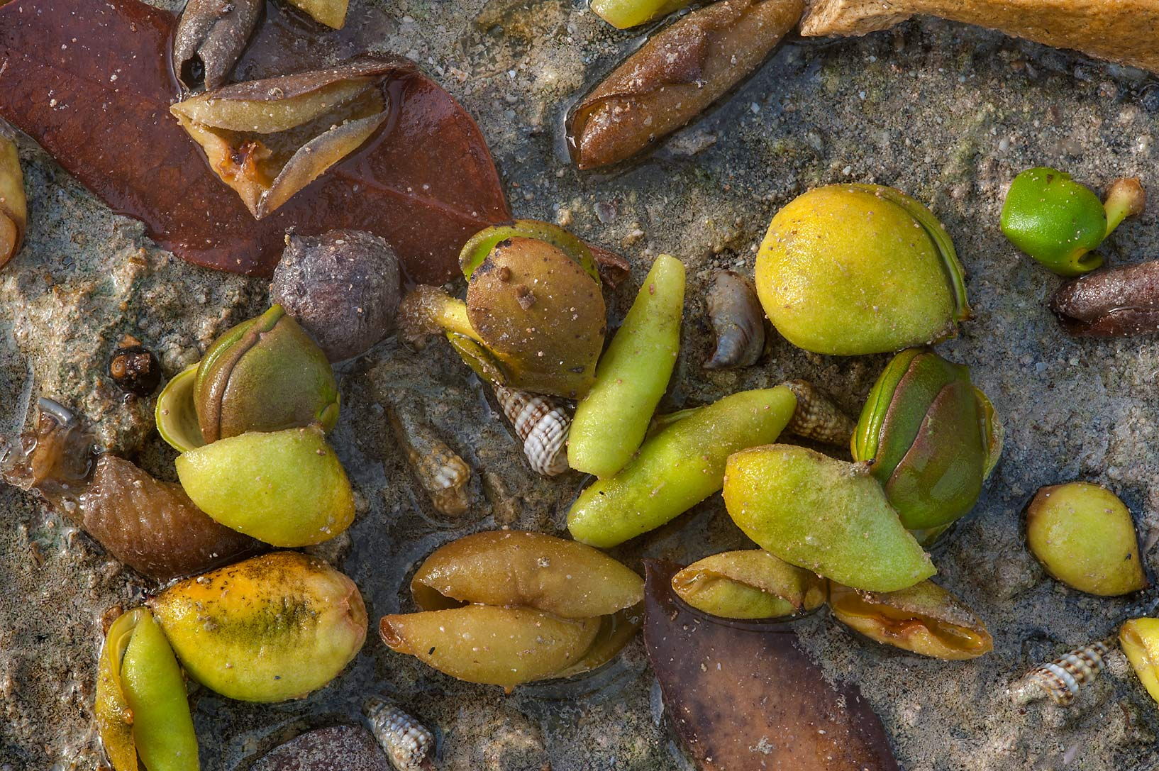 Green seeds of mangrove on littoral of Purple Island (Jazirat Bin Ghanim). Al Khor, Qatar