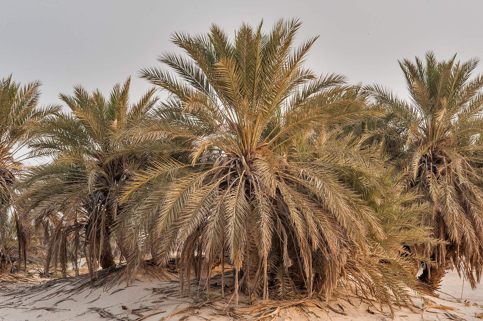 Date palms (Phoenix dactylifera) on a beach in...Well near Umm Bab. South-western Qatar