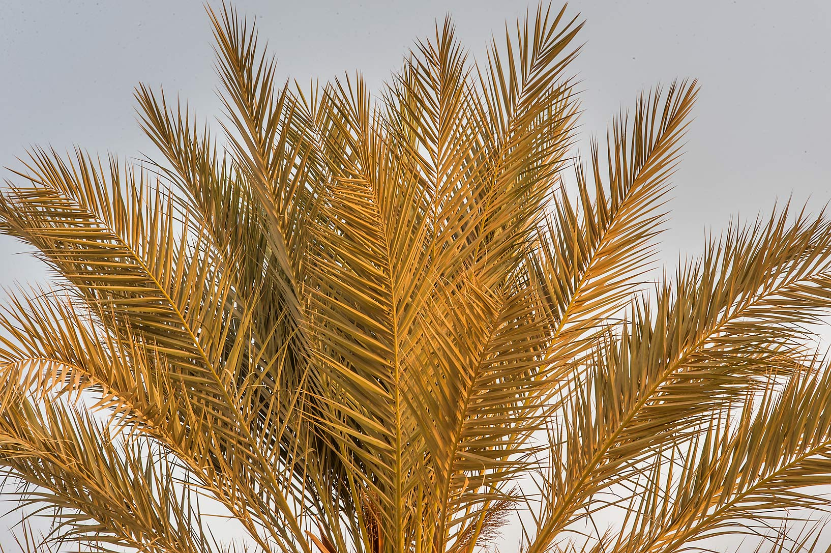 Fronds of a date palm (Phoenix dactylifera) on a...Well near Umm Bab. South-western Qatar