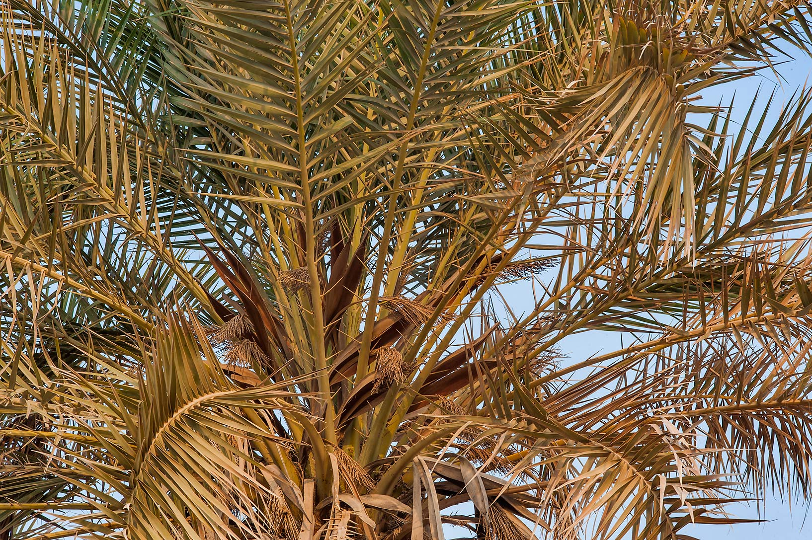 Leaves of a date palm (Phoenix dactylifera) on a...Well near Umm Bab. South-western Qatar