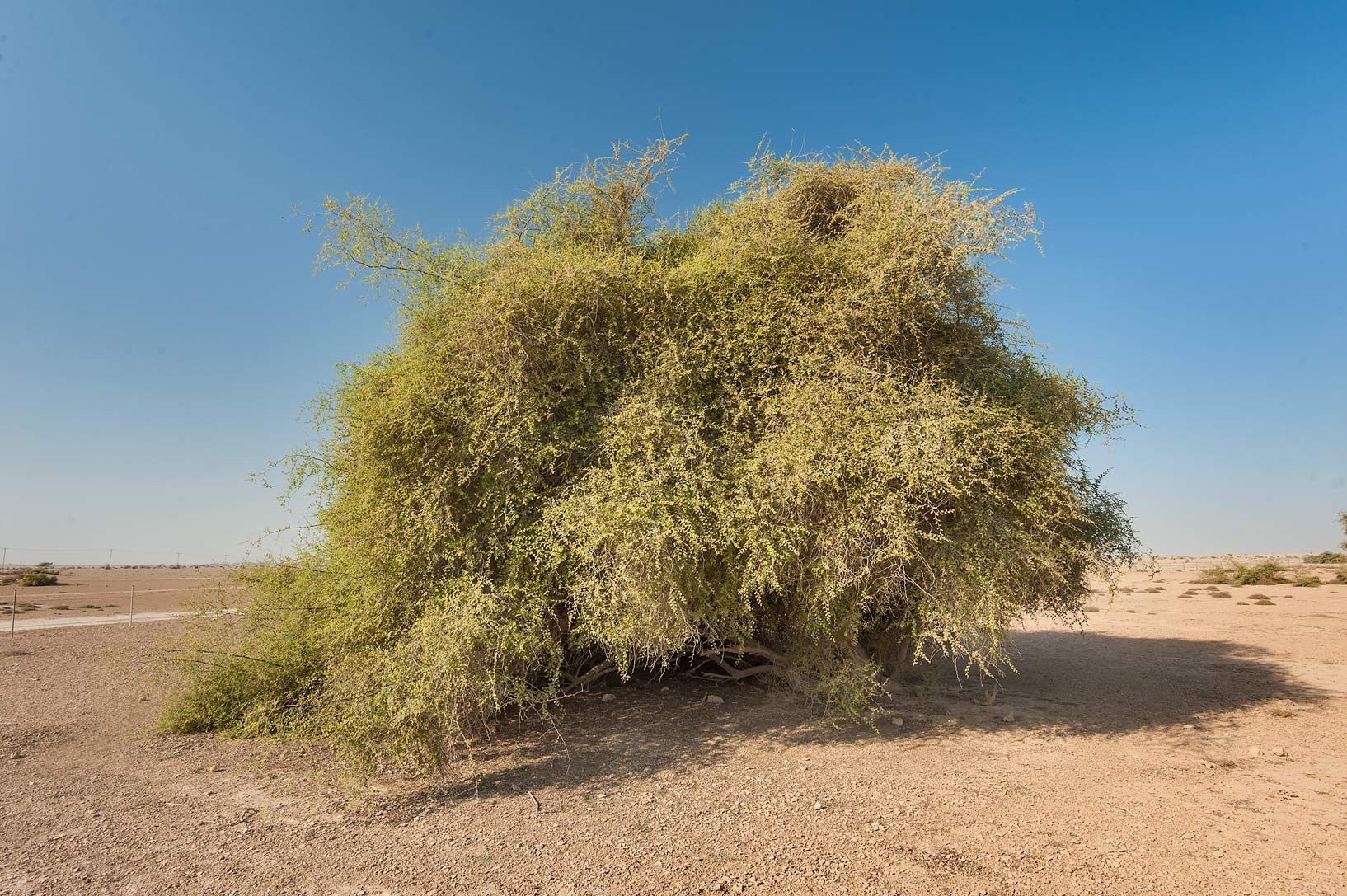 Large bush of Ziziphus nummularia in a silty...Nuaman (Numan) in north-western Qatar