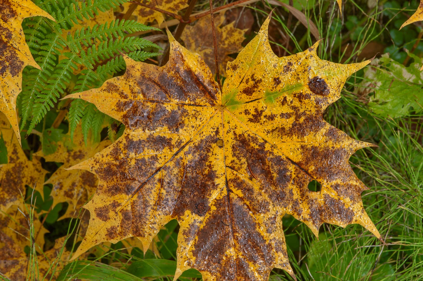 Rusty yellow maple leaf in Old Sylvia in Pavlovsk...suburb of St.Petersburg, Russia