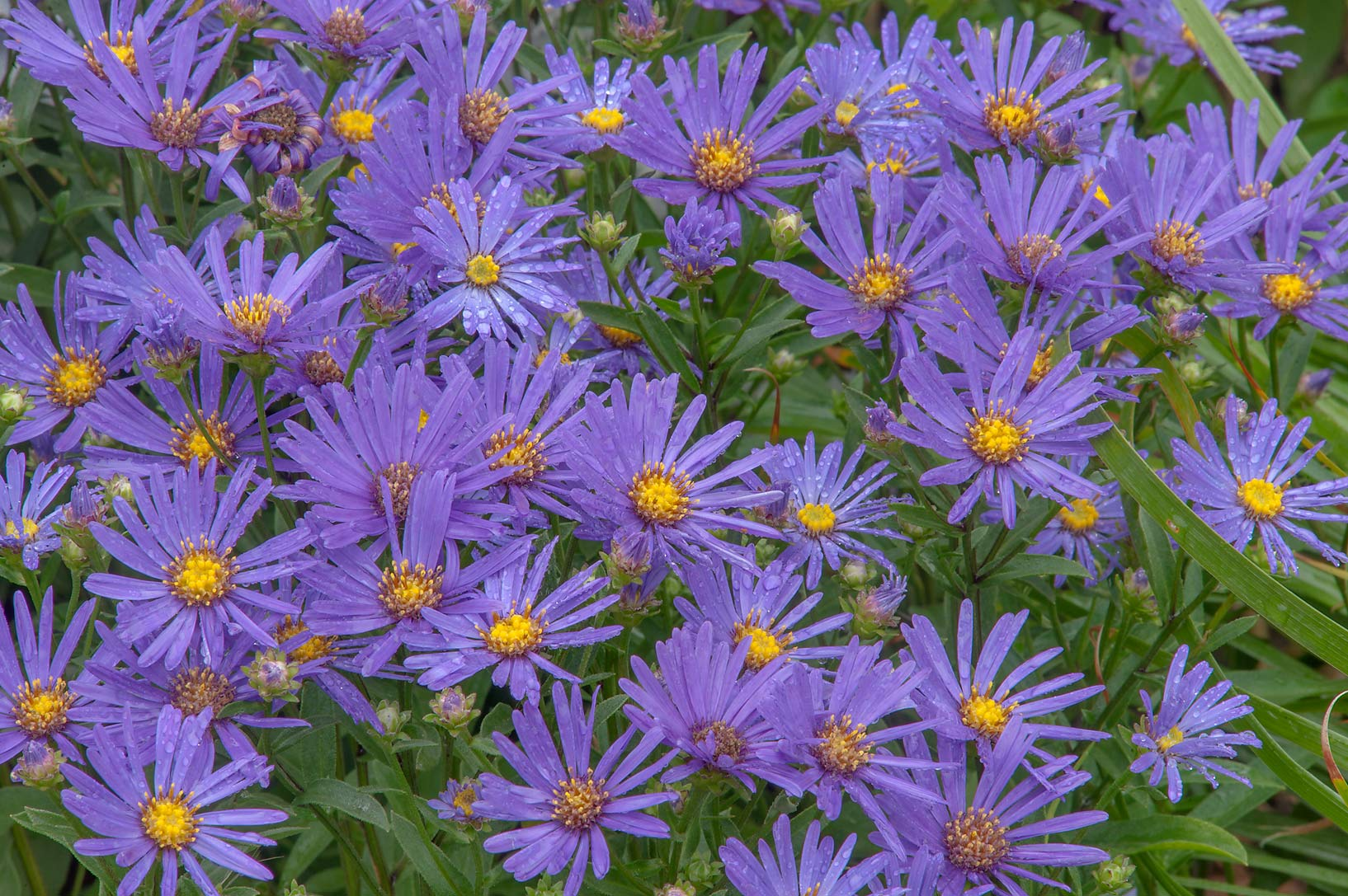 Blue flowers of Michaelmas daisy (Aster amellus...Institute. St.Petersburg, Russia